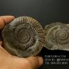 ฟอสซิล แอมโมไนต์ Ammonite Dactylioceras commune Whitby UK #AM039