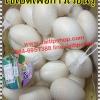 ไข่เป็ดเพื่อการเรียบรู้ของเด็ก ไข่เป็ดของเล่นเด็ก ไข่ปลอม ไข่เป็ดแบบพลาสติก