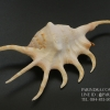 ขายเปลือกหอยจักรนารายณ์ LAMBIS CROCATA สภาพสมบูรณ์ #LC003