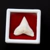 ซี่ฟันปลาฉลามขาวแท้ Shark Tooth ขนาดประมาณ 2.5 cm. ST011