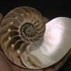 ขายเปลือกหอยงวงช้าง นอติลุสแบบผ่าซีก Nautilus Pompilus หอยหายาก NP004