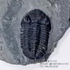 ฟอสซิล Trilobite Eldredgeops rana หายาก, USA #TLB011