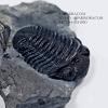 ฟอสซิล Trilobite Eldredgeops & Mucrospirifer หายาก, USA #TLB010