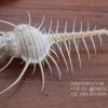 หอยสังข์หวี หอยสังข์หนาม (Murex pecten) ขนาด นิ้ว #MUREX002