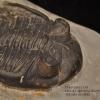 ฟอสซิล Trilobite Hollardops sp. Alnif, Morocco #TLB006