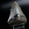 """ฟันฉลามยักษ์เมกาโลดอน Megalodon 4.9"""" เกรด A ระดับโชว์ในพิพิธภัณฑ์ #MGT007"""