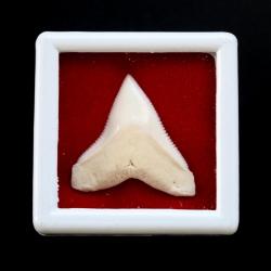 ซี่ฟันปลาฉลามขาวแท้ Shark Tooth ขนาดประมาณ 2.5 cm. ST005