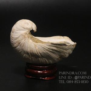 ฟอสซิลหอยนางรมโบราณ ชนิด Gryphaea arcuata จาก France #GRY002