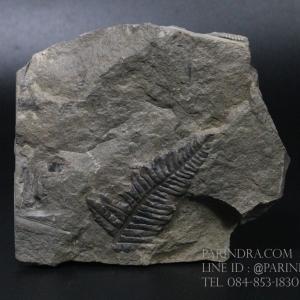 ฟอสซิลเฟิร์น ชนิด Callipteridium gigas จาก SPAIN #FRN001