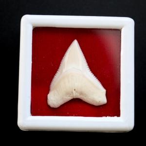 ซี่ฟันปลาฉลามขาวแท้ Shark Tooth ขนาดประมาณ 2.5 cm. ST002