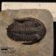 ฟอสซิล Trilobite Hollardops sp. Alnif, Morocco #TLB006 thumbnail 2
