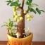 M004-ต้นมะยม 12 นิ้ว thumbnail 3