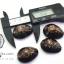ขายเปลือกหอยเบี้ย หอยเบี้ยแก้ ขนาด 1.4 นิ้ว Monetaria caputserpentis thumbnail 4