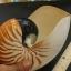 เปลือกหอยงวงช้าง นอติลุส Nautilus pompilus ขนาด 7 นิ้ว #003 thumbnail 4