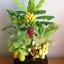 C016-สวนต้นไม้มงคล ส้ม มะยม กล้วย ขนุน 3-10 นิ้ว thumbnail 2