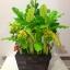 """C021-สวนต้นไม้มงคล ขนุน ทับทิม กล้วย สูง 18"""" รวมกระถาง thumbnail 4"""