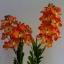 V005-แวนด้าสีส้มบนกระถางไม้ 3 ช่อ ( 40 ดอก) thumbnail 3