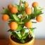 S005-ต้นส้มสูง 9 นิ้ว จำนวน 9 ลูก thumbnail 3