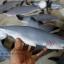 โมเดลปลาฉลาม Shark แบบยางอ่อนนุ่มนิ่ม ตั้งโชว์สวย ขนาดใหญ่ 14 นิ้ว thumbnail 1