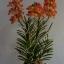 V005-แวนด้าสีส้มบนกระถางไม้ 3 ช่อ ( 40 ดอก) thumbnail 2