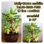 C016-สวนต้นไม้มงคล ส้ม มะยม กล้วย ขนุน 3-10 นิ้ว thumbnail 8
