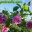 ซากุระ โรส sakura rose ซอฟเจลสกัดจากกุหลาบ Sakura Rose ช่วยให้ผิวพรรณเนียน ขาวผ่องใสยิ่งกว่าไข่ปอก กลิ่นตัวหอมกุหลาบ 1 ซอง 30 เม็ด thumbnail 3