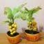 M006-ต้นมะยม ไซร์ 6 นิ้ว thumbnail 3