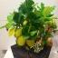 """C021-สวนต้นไม้มงคล ขนุน ทับทิม กล้วย สูง 18"""" รวมกระถาง thumbnail 2"""