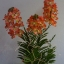 V005-แวนด้าสีส้มบนกระถางไม้ 3 ช่อ ( 40 ดอก) thumbnail 1