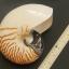 เปลือกหอยงวงช้าง นอติลุส Nautilus pompilus ขนาด 7 นิ้ว #004 thumbnail 2