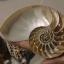 ขายเปลือกหอยงวงช้าง นอติลุสแบบผ่าซีก Nautilus Pompilus หอยหายาก NP004 thumbnail 3