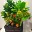 """C021-สวนต้นไม้มงคล ขนุน ทับทิม กล้วย สูง 18"""" รวมกระถาง thumbnail 1"""