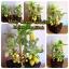 C006-สวนต้นไม้มงคล มะยม ส้ม กล้วย ขนุน_ไซร์ 3-9 นิ้ว thumbnail 5