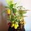 C006-สวนต้นไม้มงคล มะยม ส้ม กล้วย ขนุน_ไซร์ 3-9 นิ้ว thumbnail 1