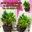 """C021-สวนต้นไม้มงคล ขนุน ทับทิม กล้วย สูง 18"""" รวมกระถาง thumbnail 8"""
