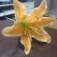 ลินลี่ไซร์ใหญ่_มีสีขาว สีขาวปัดชมพู สีเหลือง สีส้ม สีชมพู thumbnail 19
