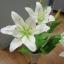 ลินลี่ไซร์ใหญ่_มีสีขาว สีขาวปัดชมพู สีเหลือง สีส้ม สีชมพู thumbnail 25