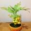 M006-ต้นมะยม ไซร์ 6 นิ้ว thumbnail 1