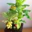 C016-สวนต้นไม้มงคล ส้ม มะยม กล้วย ขนุน 3-10 นิ้ว thumbnail 5