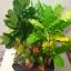 """C021-สวนต้นไม้มงคล ขนุน ทับทิม กล้วย สูง 18"""" รวมกระถาง thumbnail 7"""