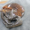 ฟอสซิลหอยทะเลแอมโมไนต์ (Ammonite)ลายใบไม้