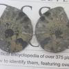 แอมโมไนต์ไพไรต์ ( Pyrite Ammonite )