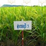พันธุ์ข้าว สุพรรณบุรี 3 ( SP001)