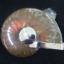 จี้ฟอลซิลแอมโมไนต์ประกายรุ้ง ( Rainbow Ammonite ) thumbnail 4