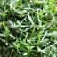 ต้นหญ้าปั่ง หรือหญ้าเทวดา thumbnail 2
