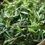 ต้นหญ้าปั่ง หรือหญ้าเทวดา thumbnail 3