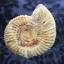 ฟอสซิลแอมโมไนต์กระดองแข็ง ( Perisphinetes Ammonite ) thumbnail 1