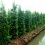 ขายต้นไทรเกาหลี ไทรประดับ ทำรั้ว สูง 2-2.5 เมตร thumbnail 2