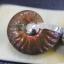 แอมโมไนต์ประกายรุ้ง ( Rainbow Ammonite ) thumbnail 2