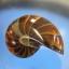 ฟอสซิลนอติลุส (Fossil Nautilus) thumbnail 1